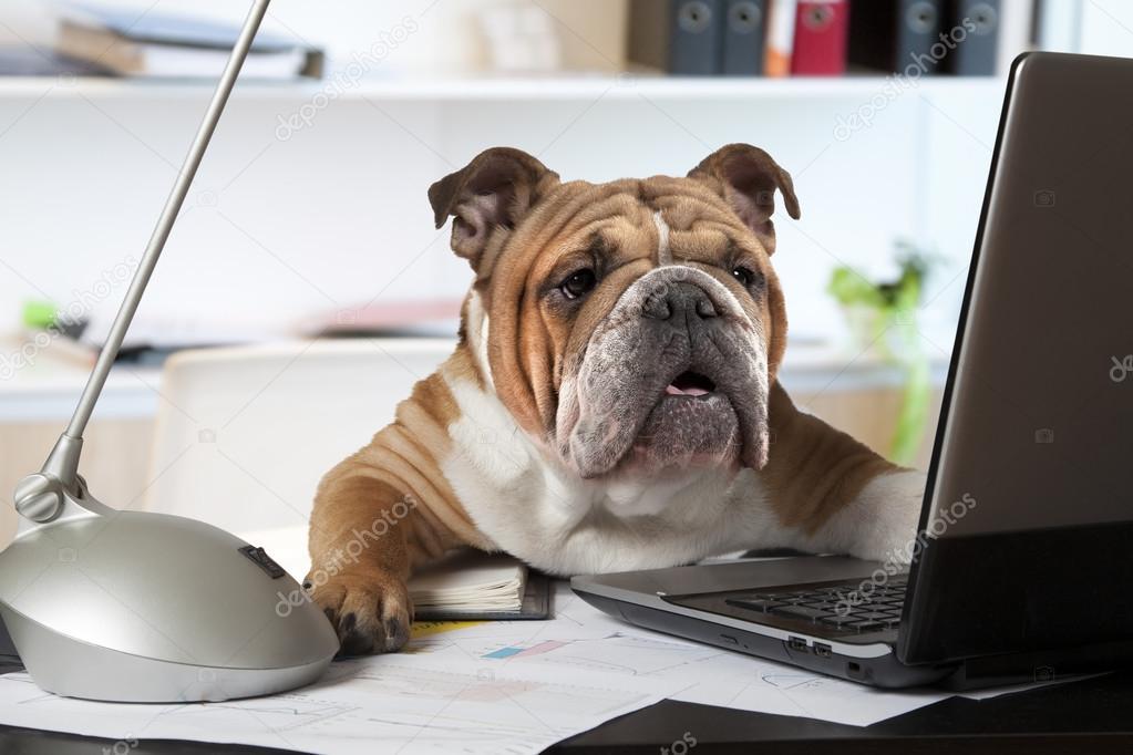 Ufficio Scrivania In Inglese : Bulldog inglese in ufficio u2014 foto stock © alkir dep #99895908