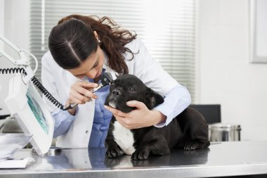 Female Veterinarian Examining Bulldog With Otoscope