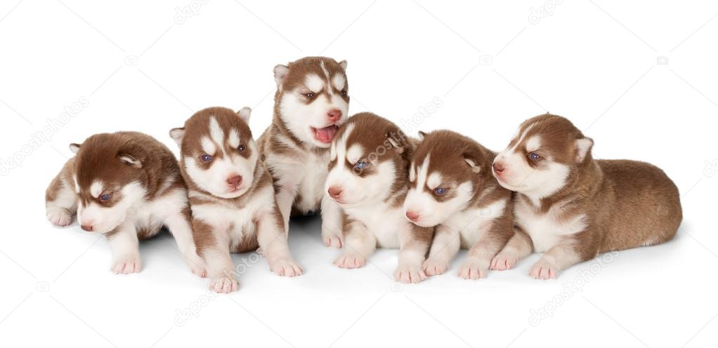 Litter Of Siberian Cooper Red Husky Puppies Stock Photo