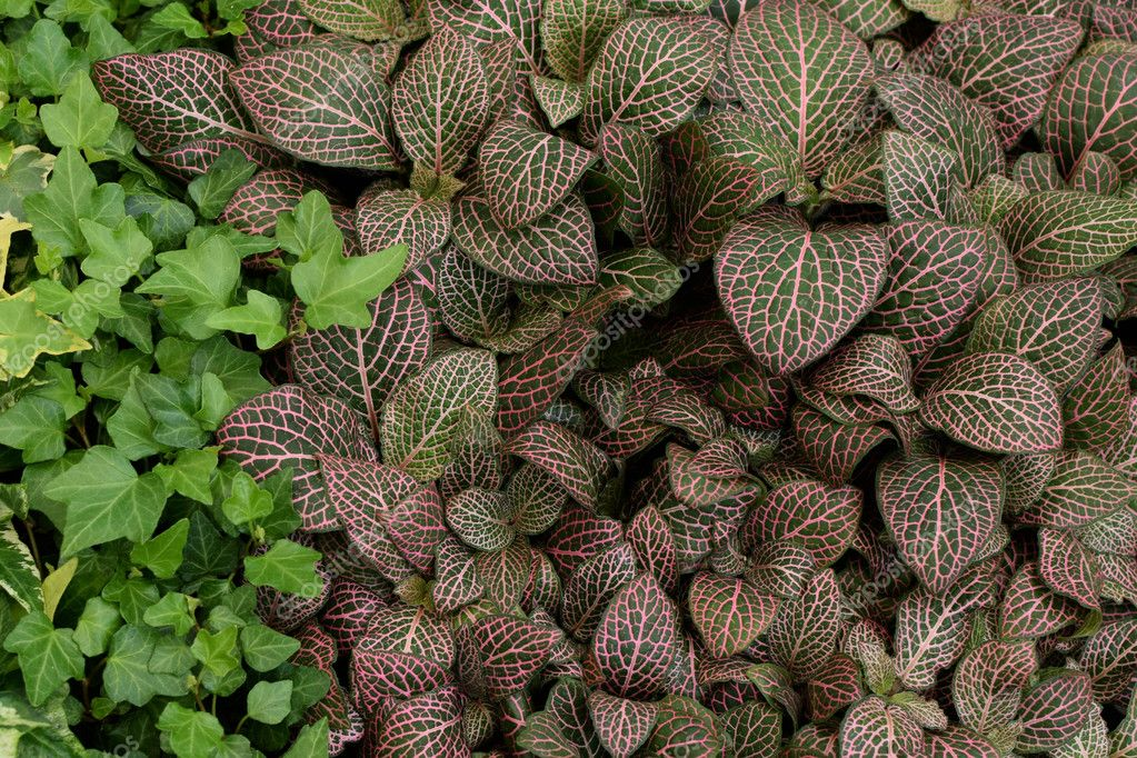 fittonia nerve plant leaves