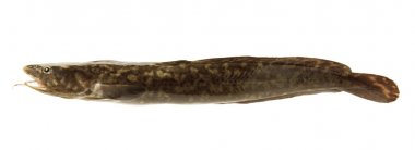 Camouflaged freshwater fish burbot