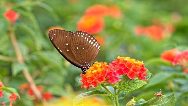 Futterung Auf Eine Makroaufnahme Blumen Schmetterling Stockvideo