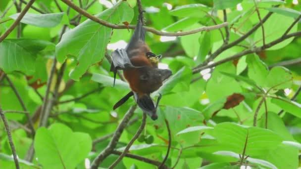 Flying Fox hängt auf einem Ast und Obst zu essen