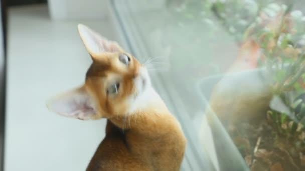 Cica Abissynian vadászik