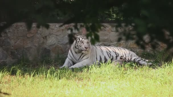 White tigress with cub