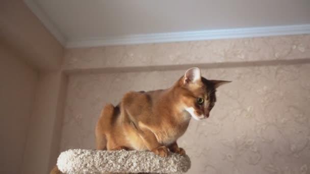 Abyssinian Cat Videos