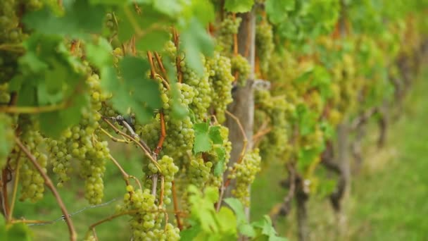 White grapes bunches
