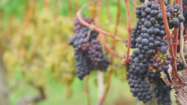 Piros és fehér szőlőt csokrok