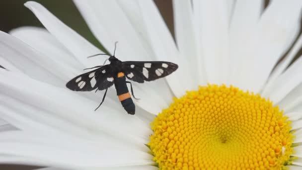 Moth on a flower daisy