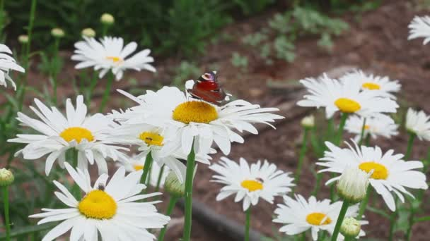 Butterfly on daisy flower