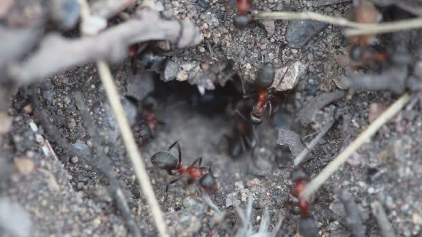 Mravenci v mraveništi detail