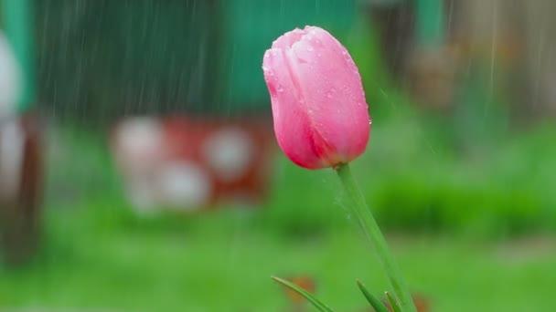 Růžové tulipány v dešti