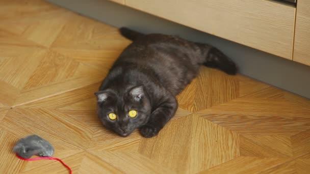 Gray scottish fold cat