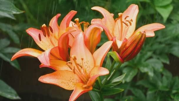 Narancssárga liliom virág-eső alatt