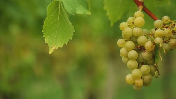 Fehér szőlő szőlő
