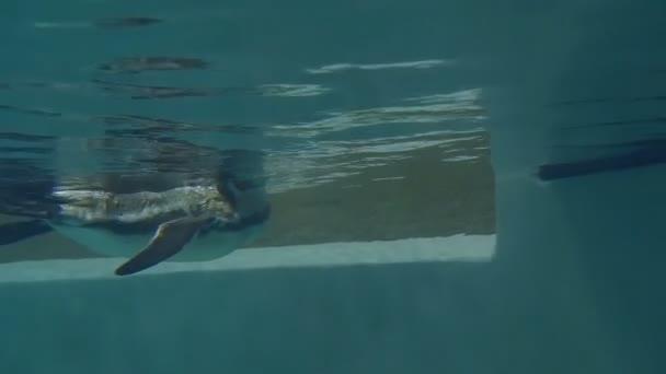 Pinguino di Humboldt sottacqua