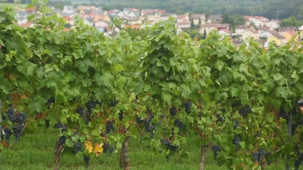 Vinice v vesnici Eisingen