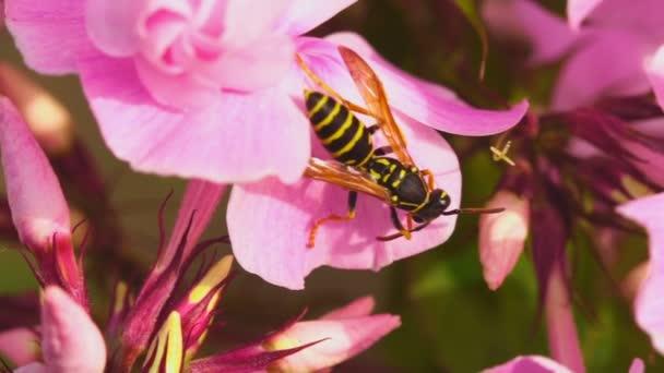 Vosa na květy růžová phlox