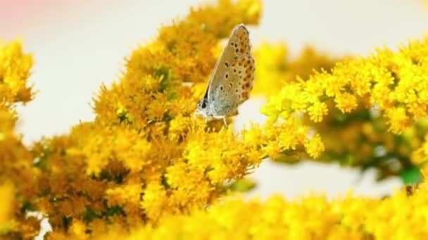Pillangó és a darázs