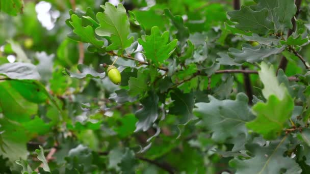 Oak tree.