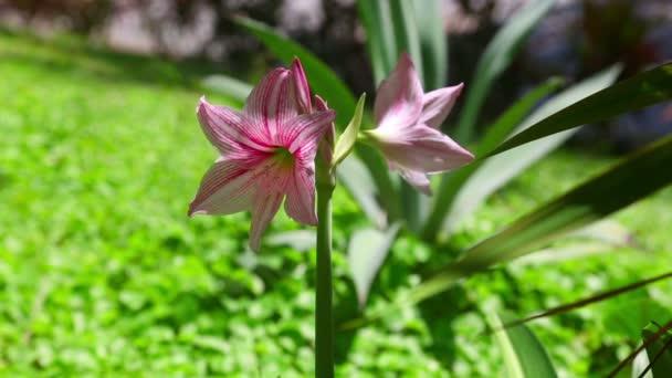 růžový Amarylis