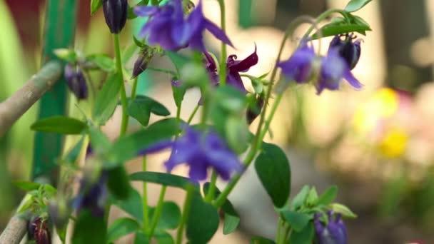 Aquilegia květiny