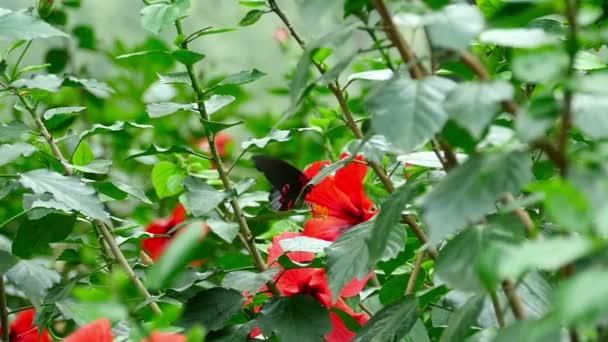 motýl na květu ibišku