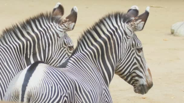 két zebrák