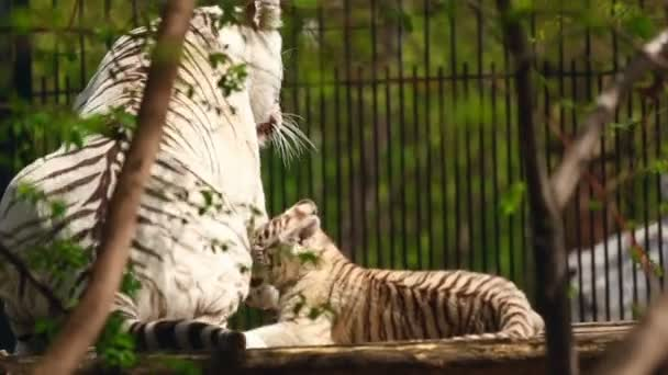 White tigress and cub