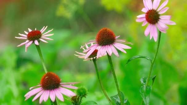 Echinacea blüht im Regen