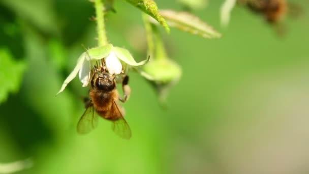 včela na květ maliny
