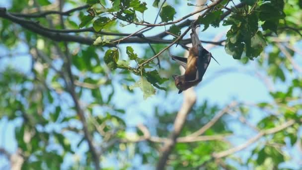 Flying Fox hängt auf einem Ast