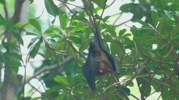 Flying Fox hängt auf einem Ast und wäscht