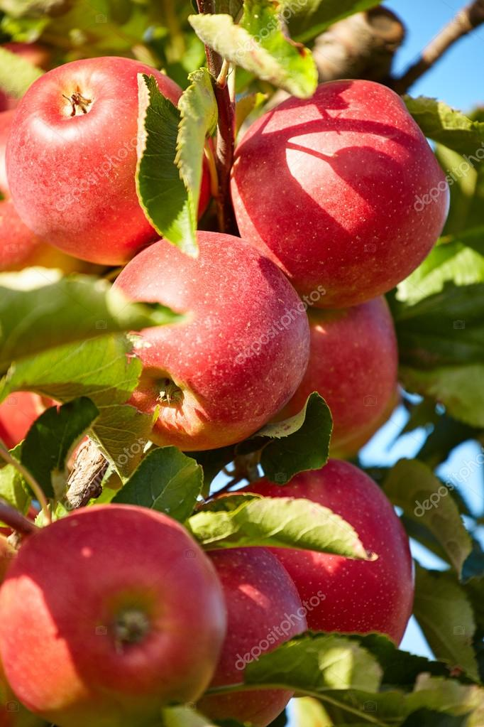 apple tree branch with fruits