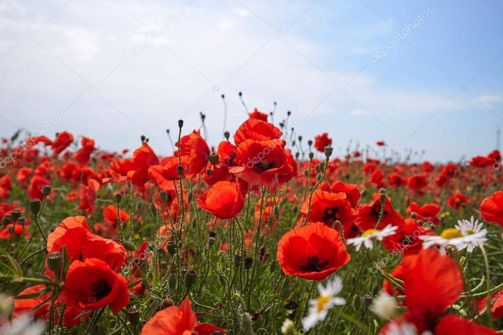 beautiful bright red poppy flowers