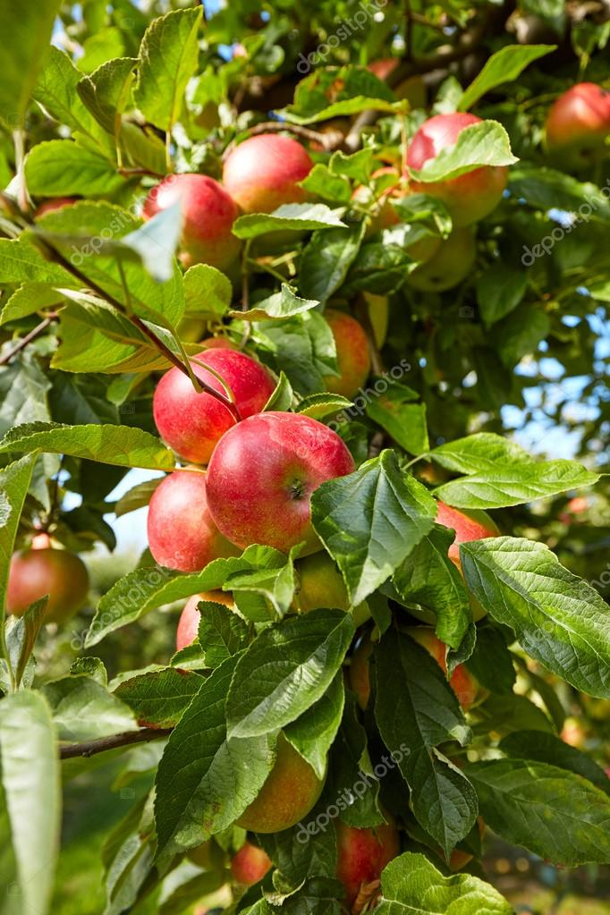 apples hanging from tree