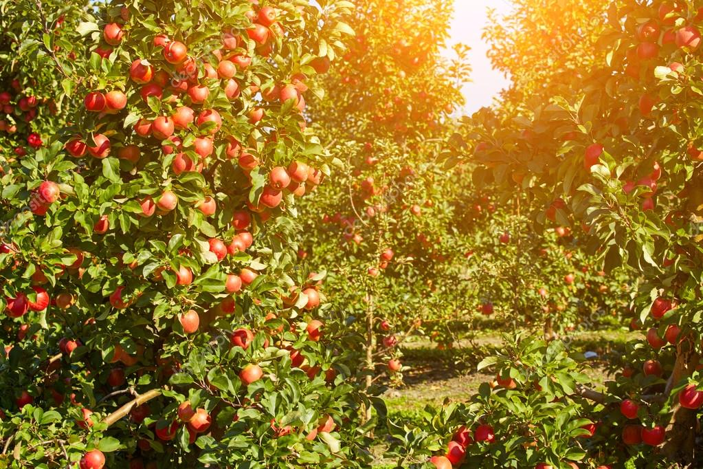 apples hanging from trees
