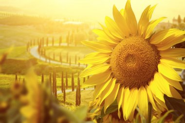 Tuscany sunflowers in the field