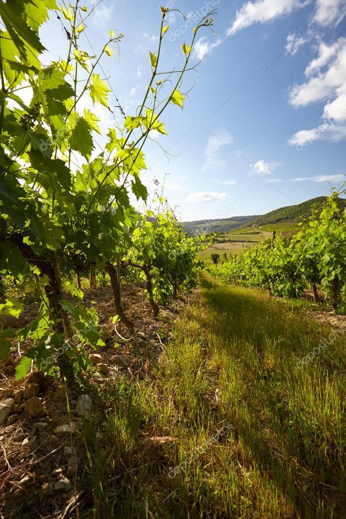 landscape of vineyard in Italy