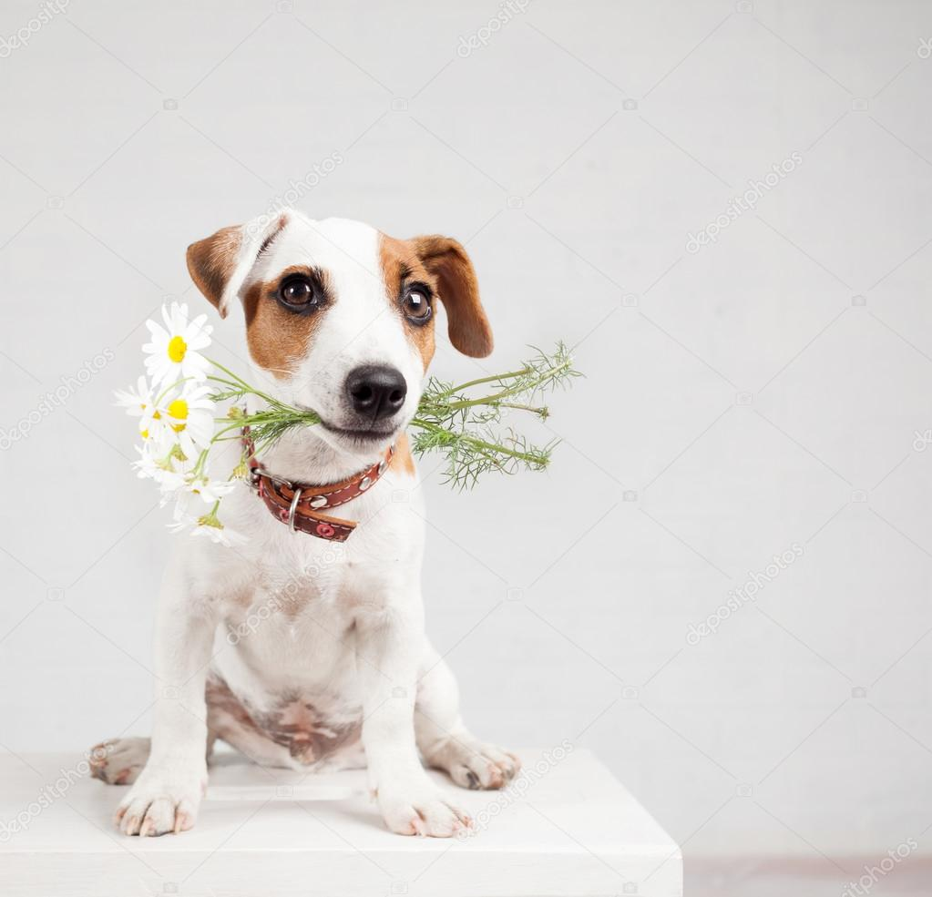 Dog With A Bouquet Of Flowers In A Teeth Stock Photo Tatyanagl