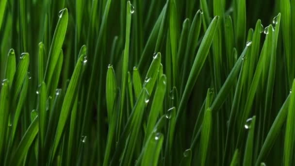 Growing green grass plant