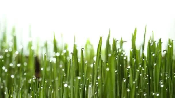 Growing green grass plant 4k