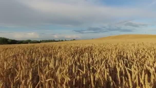 4 k. alacsony repülés felett növény mező a naplemente, légi panoráma.