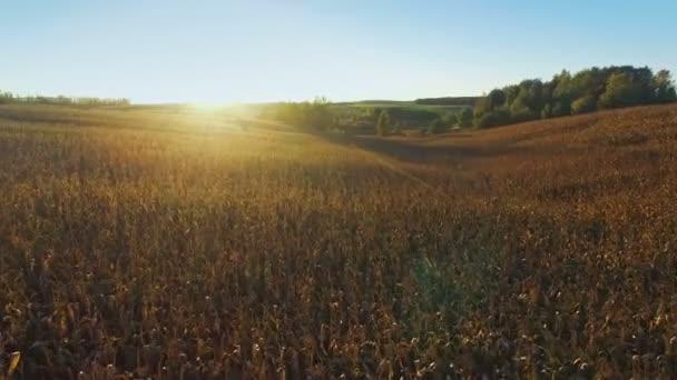 4 k. letu a vzletu nad kukuřičné pole u zlatého slunce, anténu panoramatické Prohlédni.