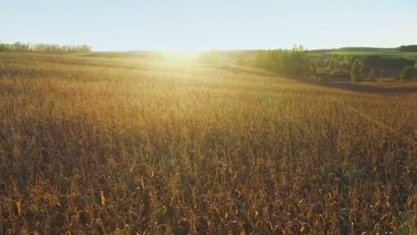 Letu nad kukuřičné pole v golden sunset, panoramatický pohled