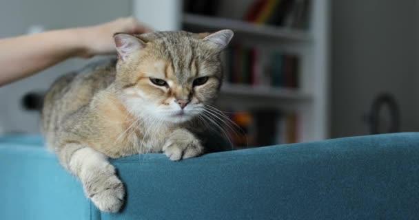 Frauenhand streichelt eine gestromte süße Katze, die auf der Couch liegt.