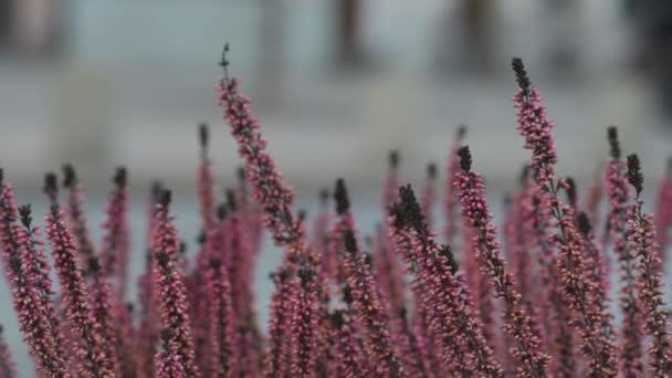 Calluna vulgaris (heather, ling, simply heather)