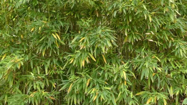 Phyllostachys Aurea Is A Bamboo Species Of The Clumping Bamboo
