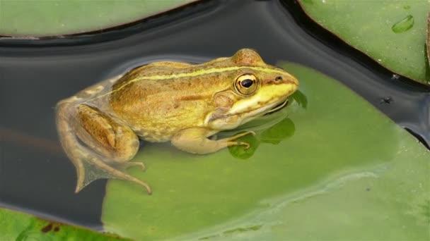 Der Sumpffrosch (pelophylax ridibundus) ist der größte in Europa heimische Frosch und gehört zur Familie der echten Frösche. Er ähnelt äußerlich sehr dem eng verwandten Speisefrosch und dem Teichfrosch.