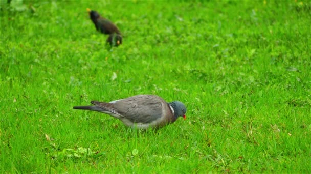 Common wood pigeon (Columba palumbus) is large species in dove and pigeon family. It belongs to Columba genus and belongs to family Columbidae. In southeast England - as culver.